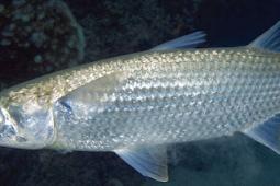 Klasifikasi Dan Morfologi Ikan Belanak
