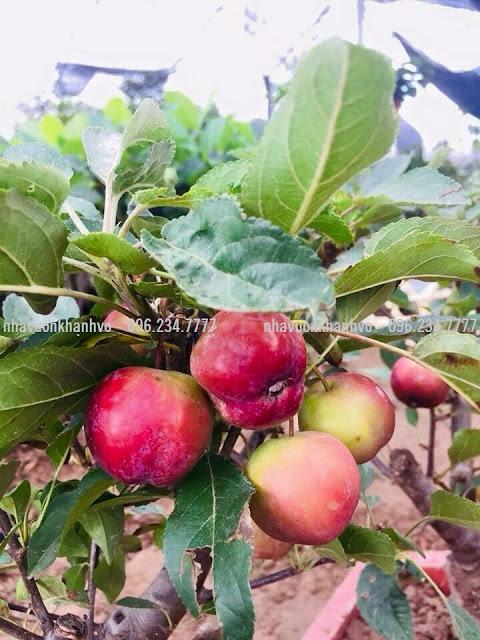 Bán cây táo Mỹ siêu lùn đang trái đầy cây