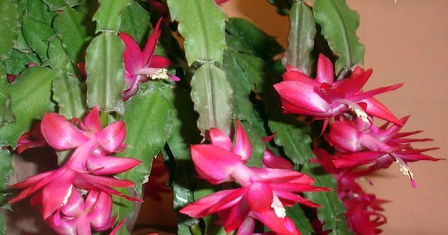 Mi remanso de paz cactus de navidad for Informacion sobre el cactus
