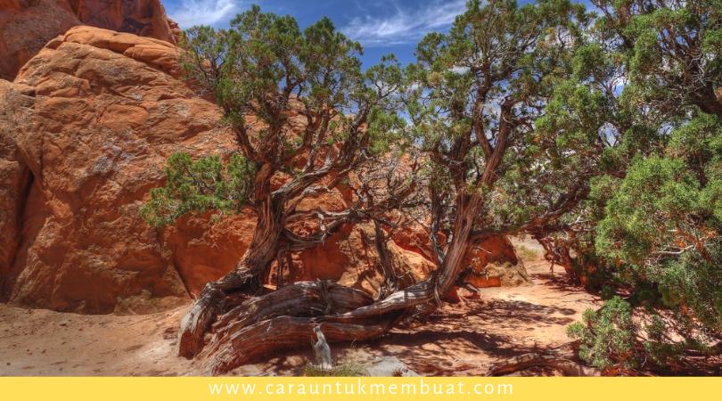 Juniper Tree on Canyonlands 16