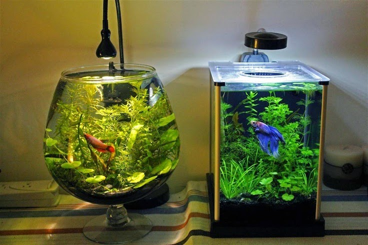 Betta fish bowl setup