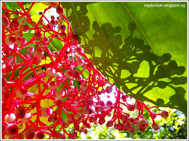 Medinilla Magnifica, Rose Grape, Malaysian Orchid, Pink Lantern, Kinabalu Park, Kota Kinabalu