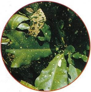 Lombrices nerviosas y microfauna del huerto plaga cochinilla for Eliminar cochinilla algodonosa