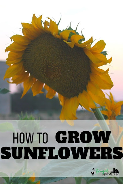 Learn how to grow sunflowers in whatever region you live in and how to be successful with sunflowers in your garden.