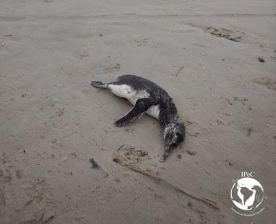 Número de pinguins encalhados na Ilha Comprida preocupa o município