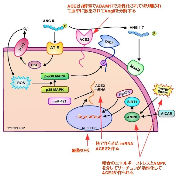 Fig.2 抜粋: Transcriptional, post-transcriptional, and post-translational regulation of ACE2 by  PMID: 27081112