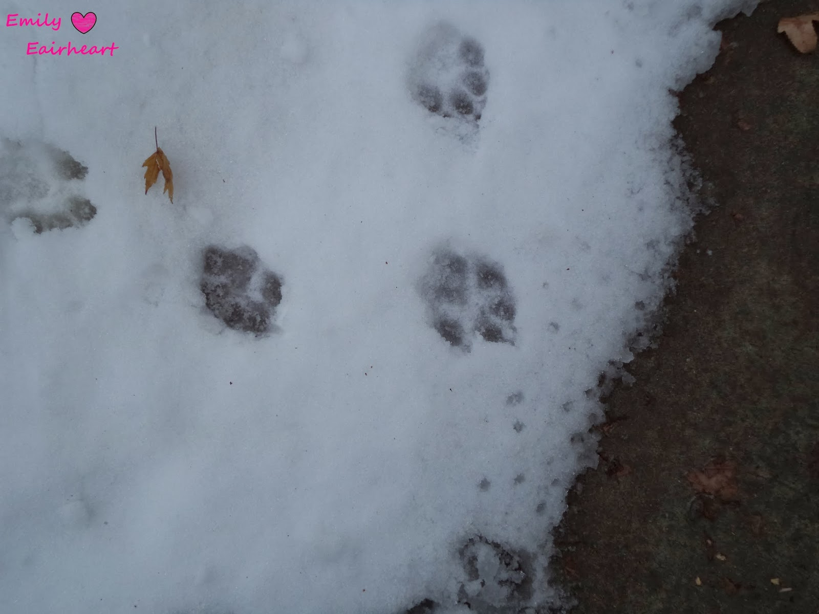 German Shepherd and Golden Retriever Mix paw prints in the snow.