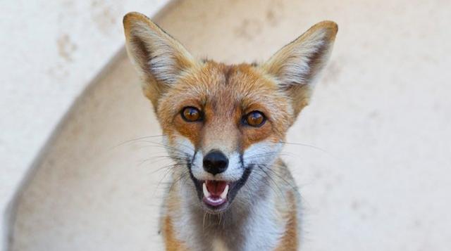 Megtaláltuk Magyarország legszelídebb rókáját - retteg a kacsáktól