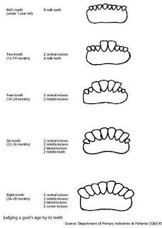 contoh gigi sapi