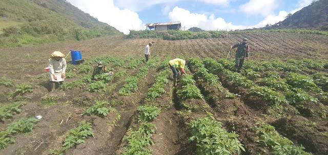 Babinsa Koramil 02/Bebesen  Bantu Petani Untuk Perawatan Tanaman Kentang