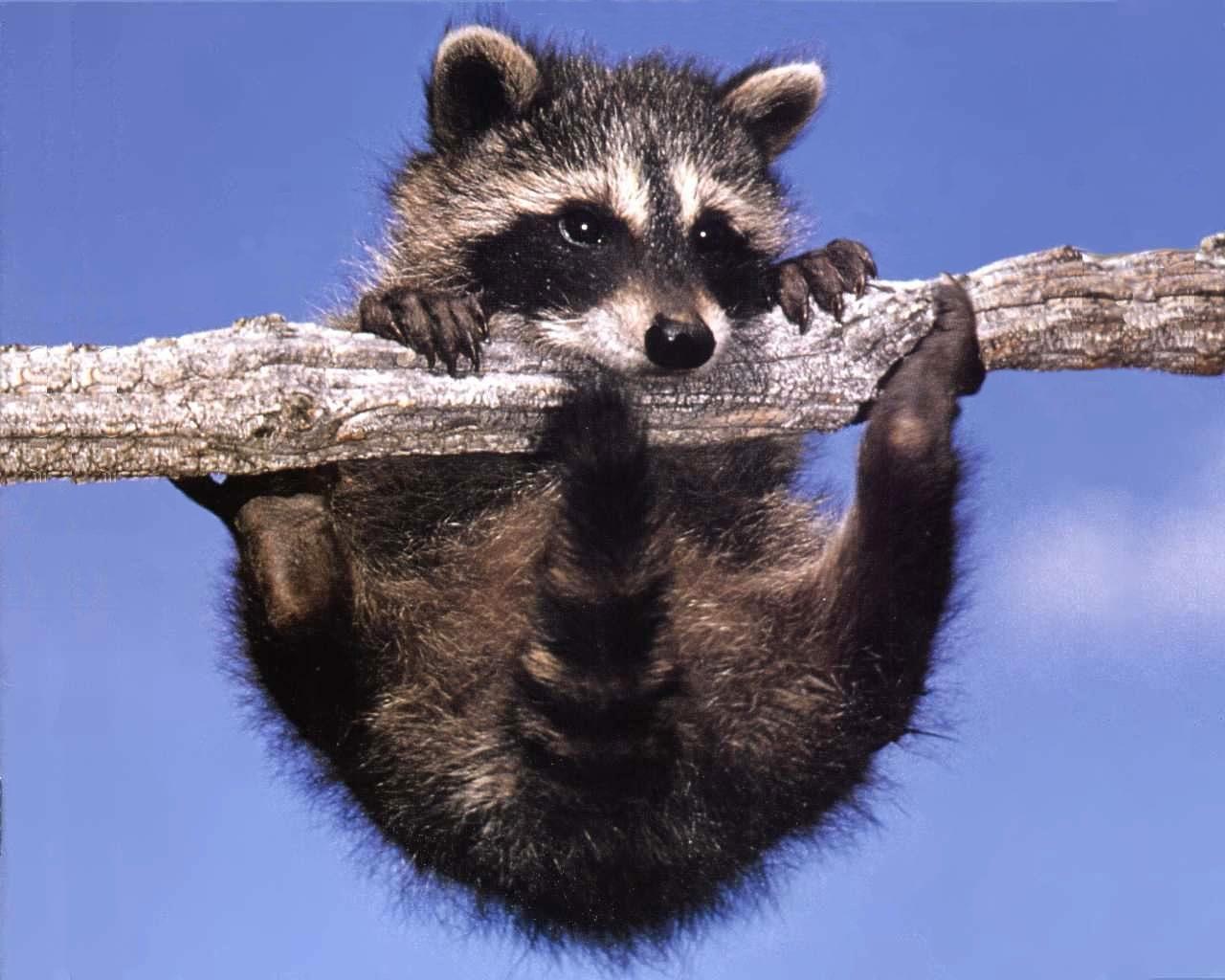 Cute Initial Wallpaper Raccoon Intelligent Thief Animal Photo