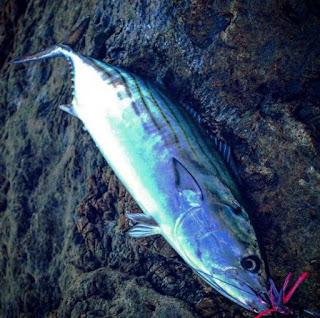 سمك الكبريت او البلاميطة