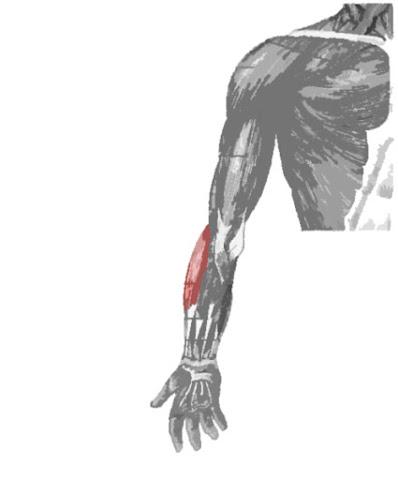 Musculo resaltado Músculo braquiorradial
