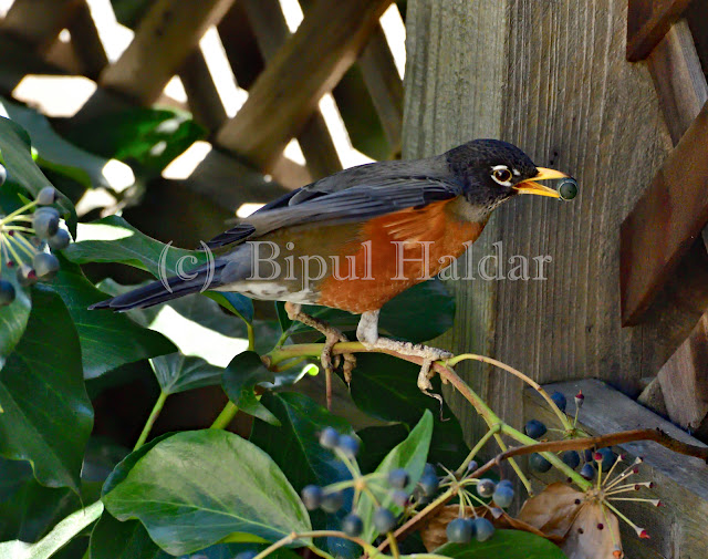 American Robin Eating a Blue Berry