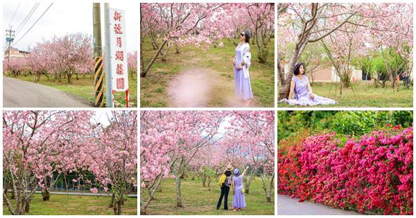 台中新社月湖莊園櫻花林上百棵粉紅富士櫻盛開,免費參觀拍照
