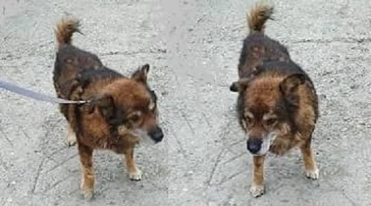 बच्चों और भेड़ों का मित्र-भोटिया कुत्ता (Himalayan Sheepdog)