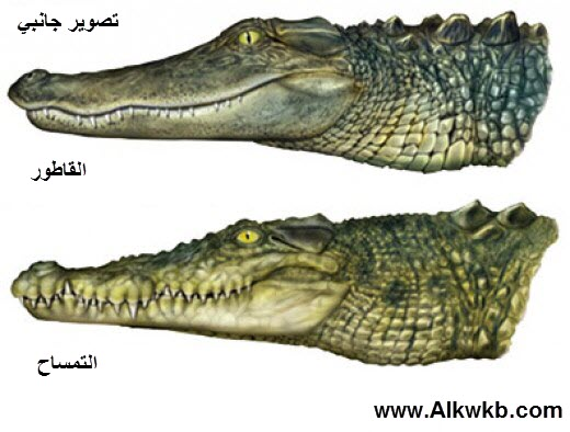 Difference Between Alligator And Crocodile