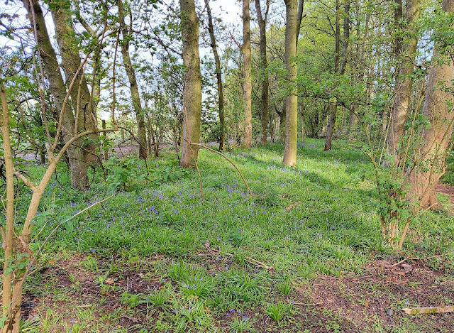 Early bluebells are flowering against a background of green leaves