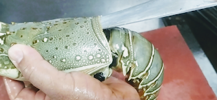 Piercing knife inside lobster to clean for lobster recipe in hot garlic sauce