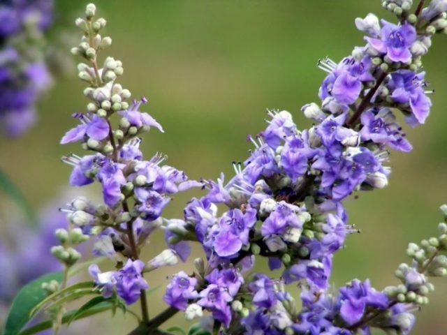 Agnocasto: erba benefica in pre menopausa