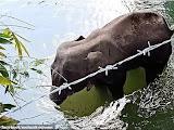 Gajah buting maut diberi makan nenas berisi mercun !