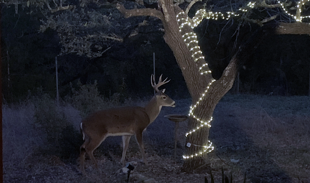 A buck visiting our home on Christmas day morning
