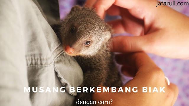 Musang Berkembang Biak dengan Cara melahirkan dantergolong hewan mamalia.