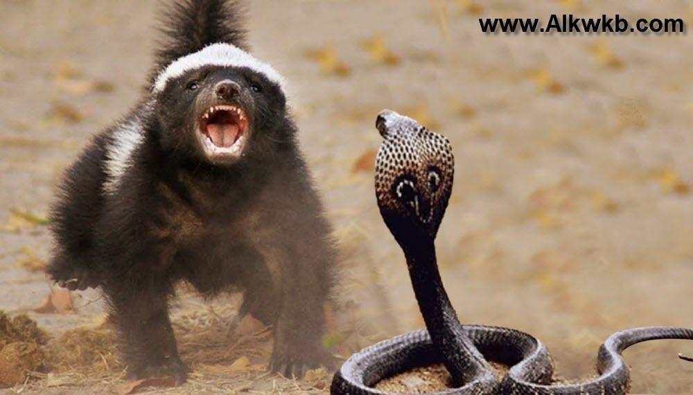 Honey Badger VS Copra