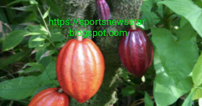 Cocoa beans were first cultivated by which country?