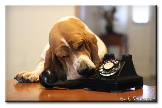 Bentley Basset Hound talking on antique phone