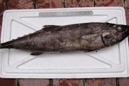 Mengulas Manfaat Ikan Gindara untuk Kesehatan