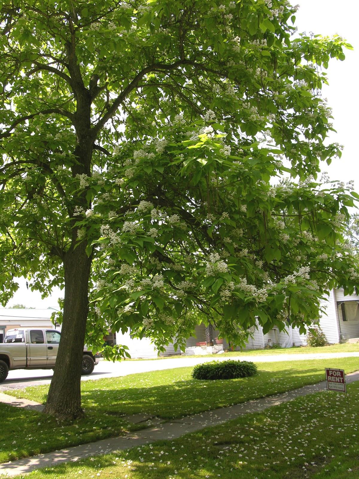 Outdoorscribe Old Catalpa Tree Provided My Refuge Bait