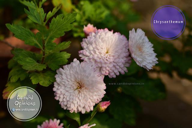 Chrysanthemum Flowers On Our Terrace Garden