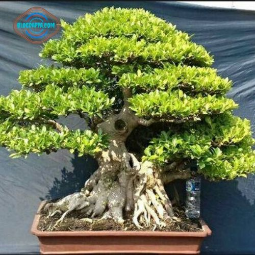 Bonsai Kimeng