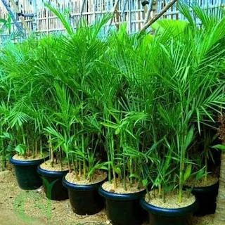 Jual Palem Komodoria | Tanaman Indoor Palem Komodoria | Jasa Tukang Taman Dibogor