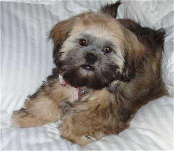 Cute Puppy Dogs Brown Shih Tzu Puppies