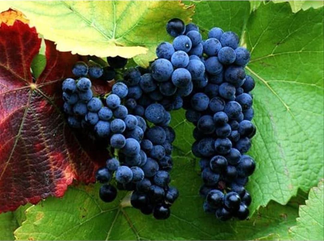 Obral! Bibit Tanaman Buah anggur hitam Okulasi Cepat Berbuah Kota Surabaya #bibit buah langka