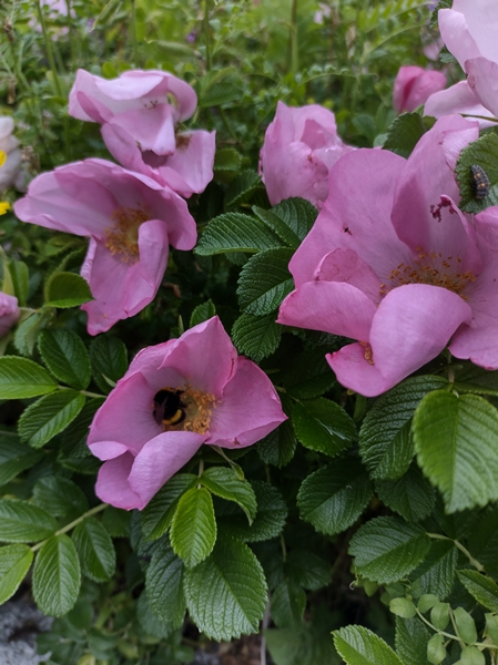 rose humle