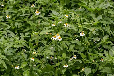 ต้นดาวกระจายไต้หวัน วัชพืชดอกสวยน่ารัก Bidens pilosa