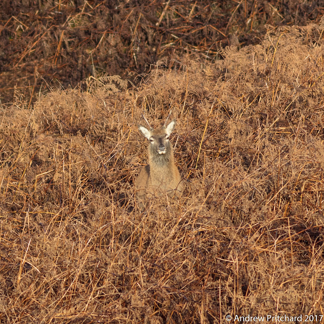 A brocket stands in some dead bracken. Most of his coat is well camouflaged except for his ears, eyes and chin which stand out brightly against the surrounding browns.