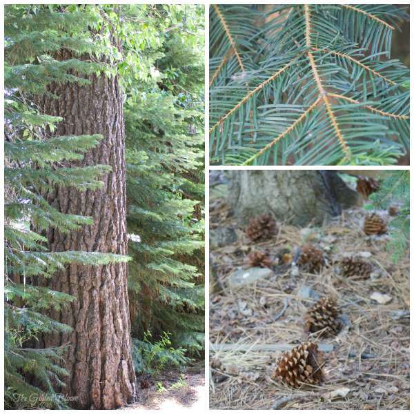 pine trees pinecones