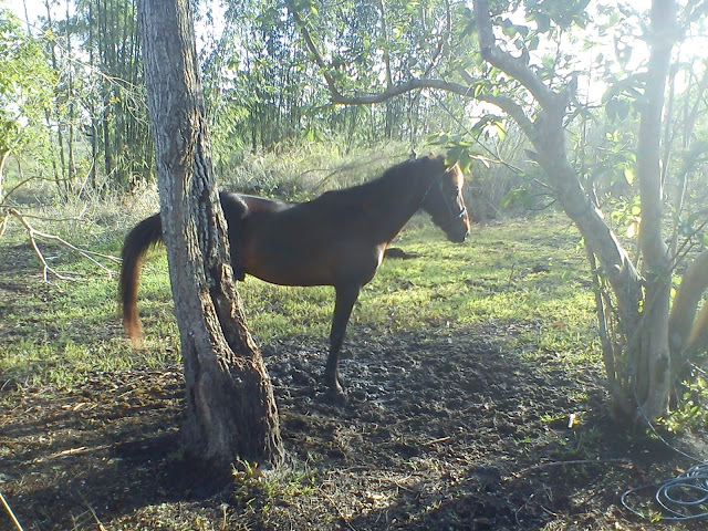 kuda sandalwood di sumba timur