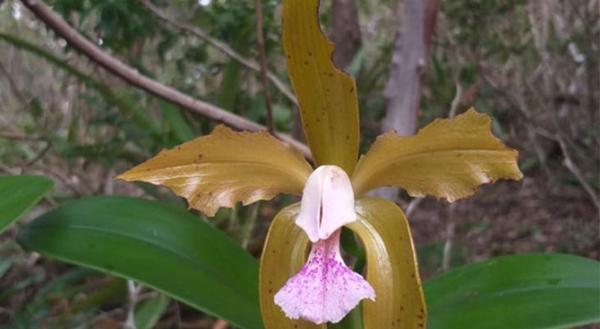 Flor símbolo do RN inicia período de floração