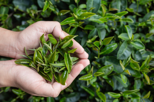 tea picker woman s asian hands close up pretty tea picking girl plantation 1150 14737