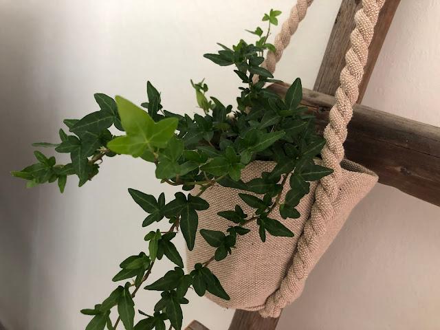 Tämä muratti tekee uusia vaaleanvihreitä lehtiäkin