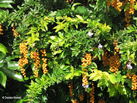 Yellow fruit clusters - Botanical garden north of Hilo, Hawaii