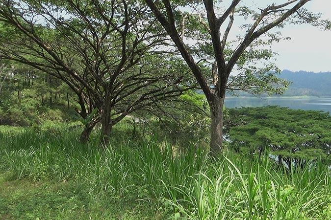 Dlium Monkey pod tree (Samanea saman)