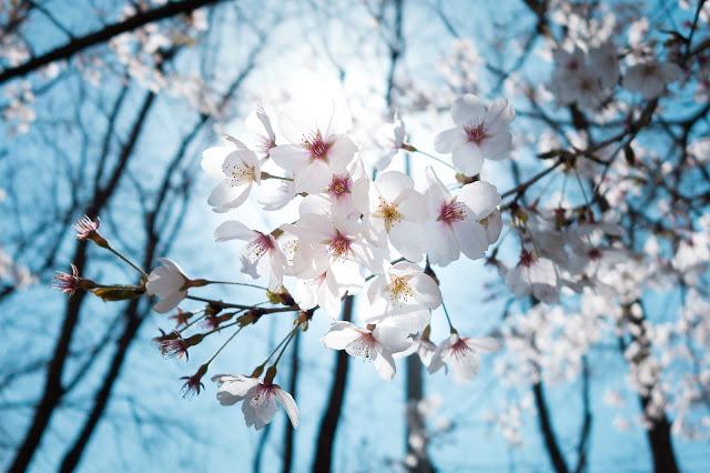 Bunga sakura putih