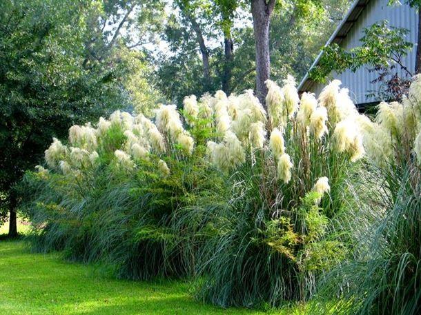 Пампасная трава в дизайне сада