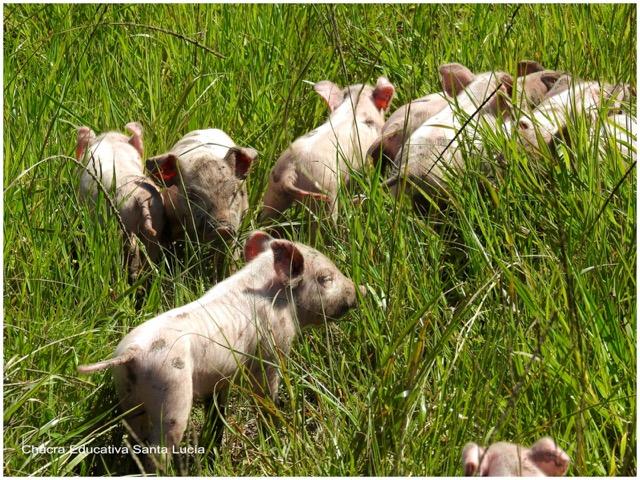 Lechones con pocos días de nacidos - Chacra Educativa Santa Lucía